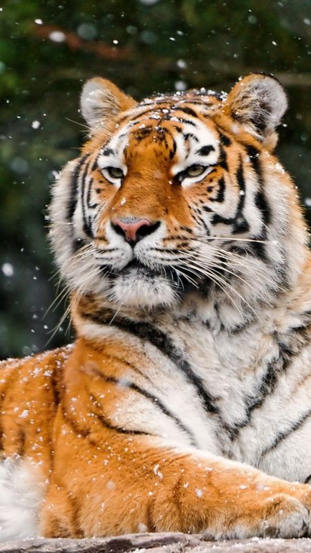 Animals Siberian tiger Wallpaper