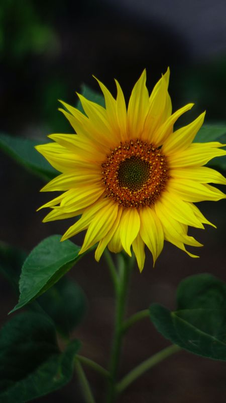 HD Wallpaper - Sunflower Wallpaper