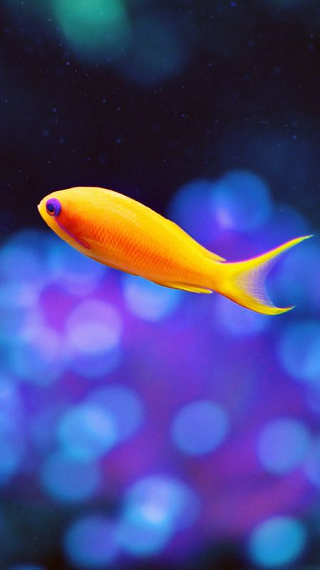 Orange Fish Wallpaper