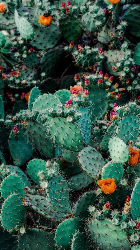 Cactus Plants Hd Wallpaper Wallpaper