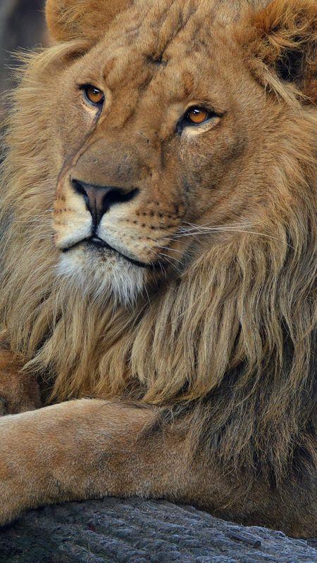 Beard lion Wallpaper