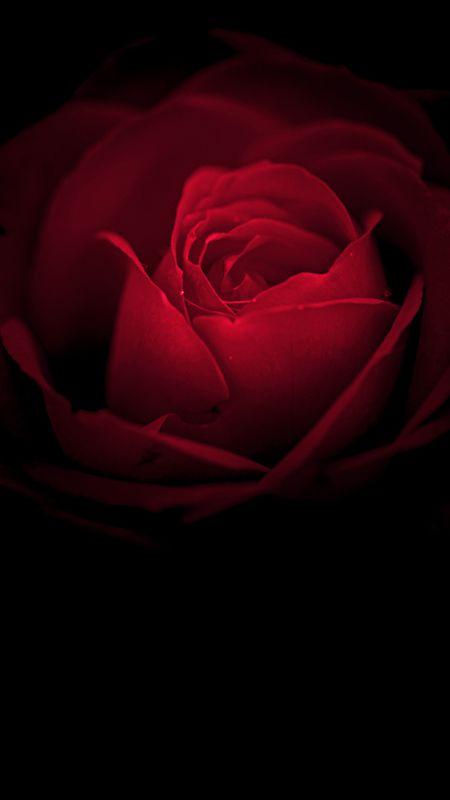 Flowers-Rose flower Wallpaper