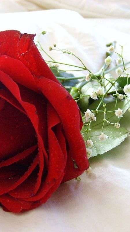 HD Red Rose Wallpaper