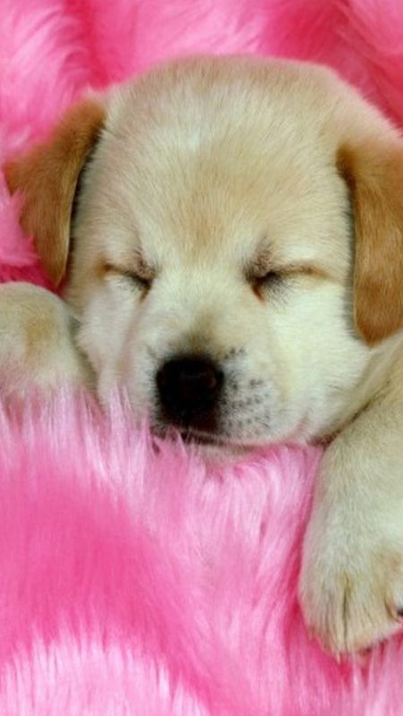 Sleeping Puppy Wallpaper
