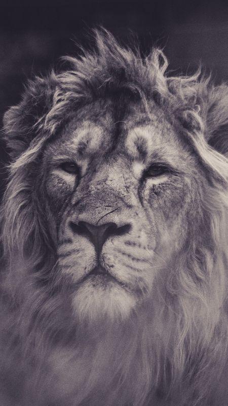 Lion Sight Wallpaper
