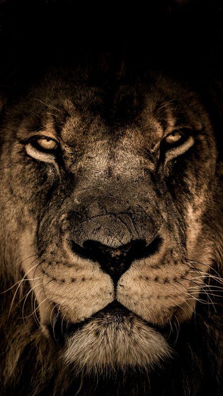 Lion Muzzle Wallpaper