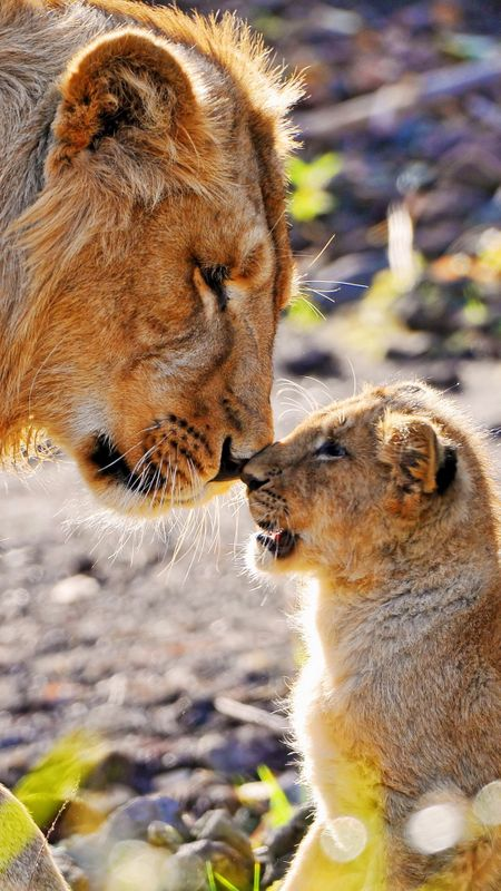 Lion and Cub Wallpaper