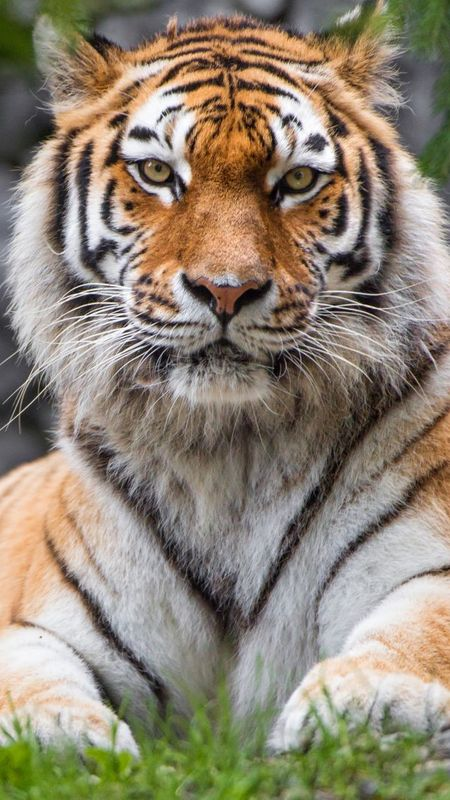 Animals-Siberian Tiger Wallpaper