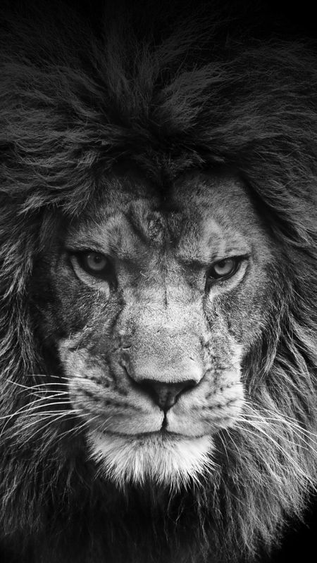 HD Wallpaper - Lion Wallpaper
