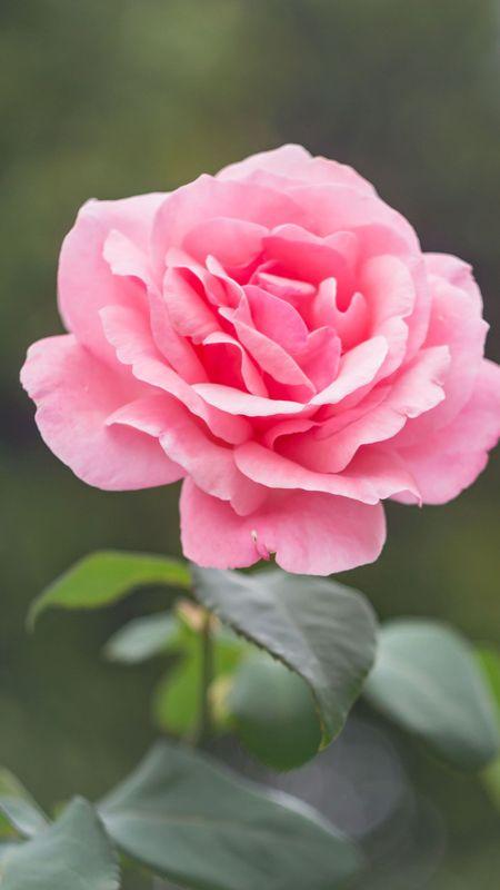 Pink Rose - HD Wallpaper Wallpaper
