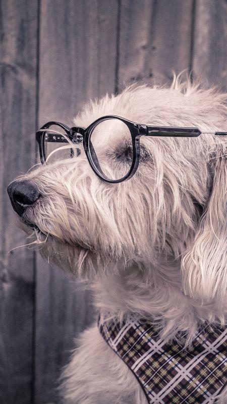 Cute Dog in Spects Wallpaper