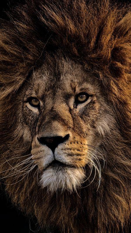 Lion Face Wallpaper