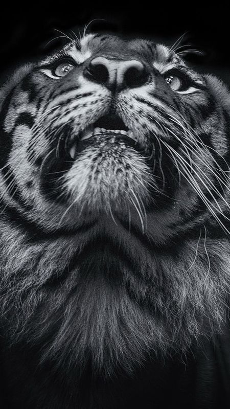 Animals Tiger Wallpaper